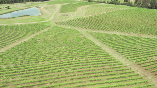 aerial of lush vineyard plants and crops in springtime - grape leaf stock videos & royalty-free footage