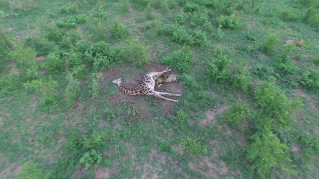 aerial of male lion feeding on a giraffe kill in green savannah, kruger national park, south africa - dead animal stock videos & royalty-free footage