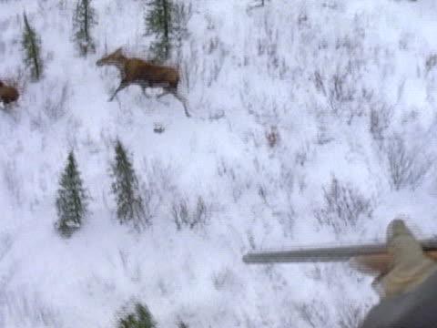 vídeos y material grabado en eventos de stock de aerial of moose running from a man holding a dartgun in a helicopter - alce