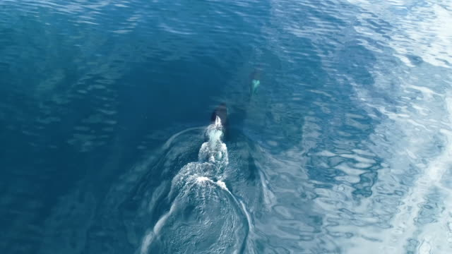 aerial of orca mother and calf in lofoten archipelago, norway - killer whale stock videos & royalty-free footage