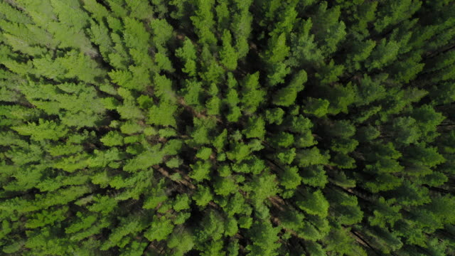 aerial of pine tree forest - pine stock videos & royalty-free footage