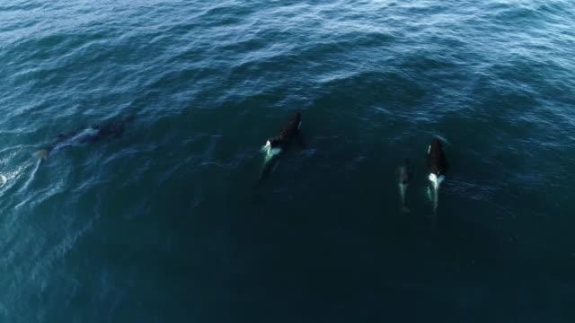 aerial of pod of orcas off lofoten archipelago, norway - ecosystem stock videos & royalty-free footage
