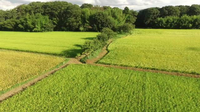Aerial of Rice Fields