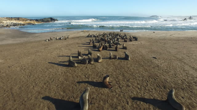 aerial of sandy beach and sea lions towards black backed jackals eating dead seal next to sea, namibia, 2015 - namibia stock videos & royalty-free footage