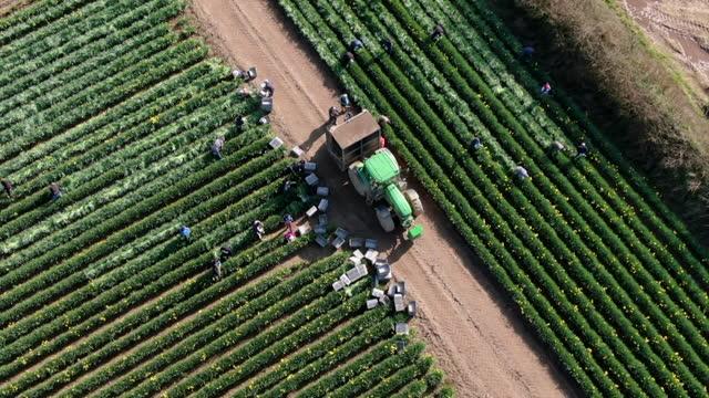 aerial of seasonal workers picking daffodil crop in field in cornwall - harvesting stock videos & royalty-free footage