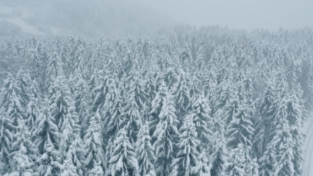 Aerial of snow covered forest of spruce trees