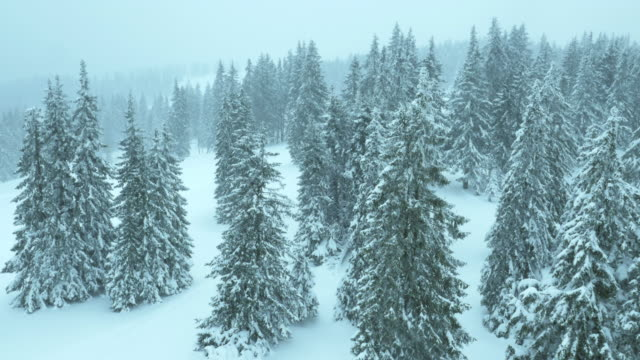 Aerial of snow falling on the snowed trees