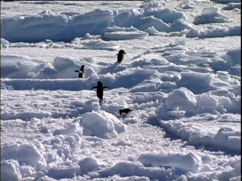 aerial of southern ocean, adelie penguins struggling to climb over mounds of ice. - vier tiere stock-videos und b-roll-filmmaterial