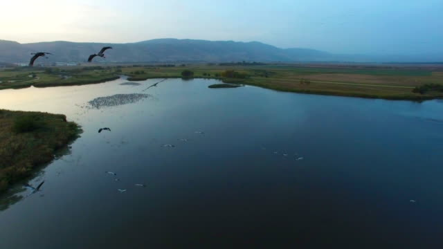 Aerial of thousands of common cranes  (Grus grus) concentrating during migration in the Hula valley, after sunset