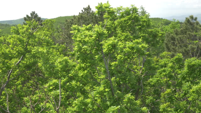 Aerial of treetops in a vast light green forest