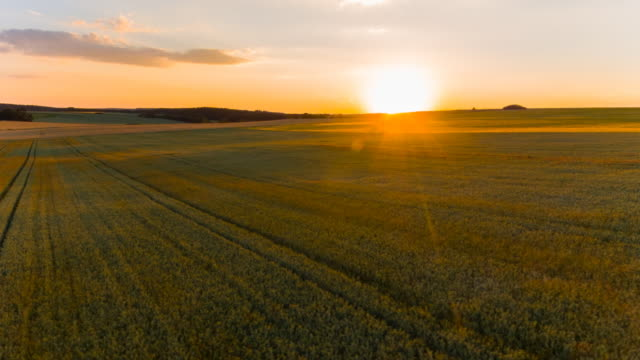 WS aerial of wheat field at sunset