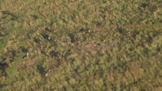 aerial of wildebeest running - rymma bildbanksvideor och videomaterial från bakom kulisserna
