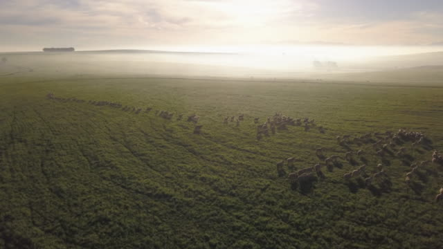 aerial over a herd of sheep in a field - sheep stock videos and b-roll footage