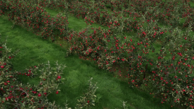 vídeos y material grabado en eventos de stock de aerial over apple crop in orchard, uk - manzana