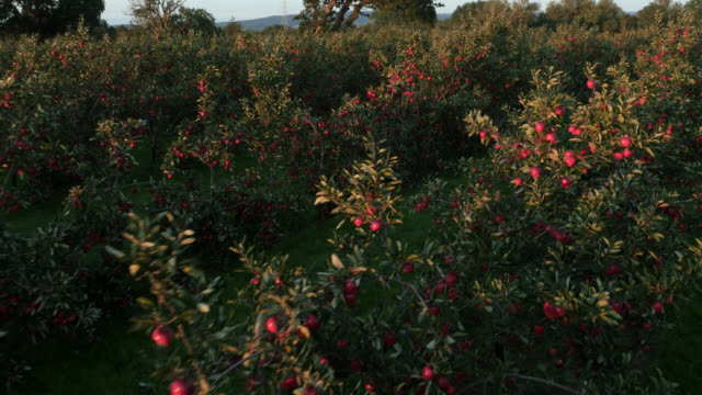 aerial over apple crop in orchard, uk - apple fruit stock videos & royalty-free footage