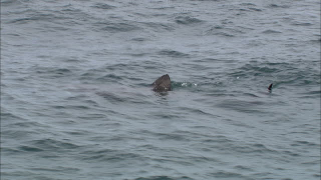aerial over basking shark (cetorhinus maximus) feeding in sea, cornwall, uk - rückenflosse stock-videos und b-roll-filmmaterial