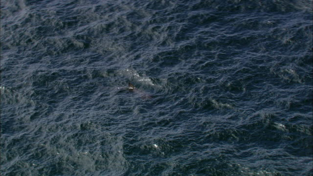 aerial over basking shark (cetorhinus maximus) feeding in sea, cornwall, uk - animal fin stock videos & royalty-free footage