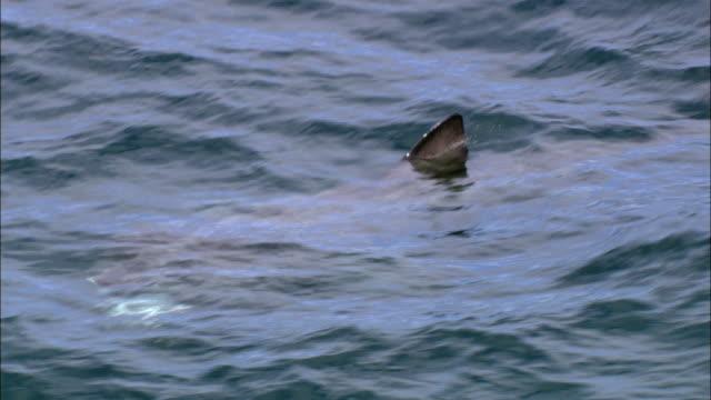 vídeos y material grabado en eventos de stock de aerial over basking shark (cetorhinus maximus) feeding in sea, cornwall, uk - peregrino