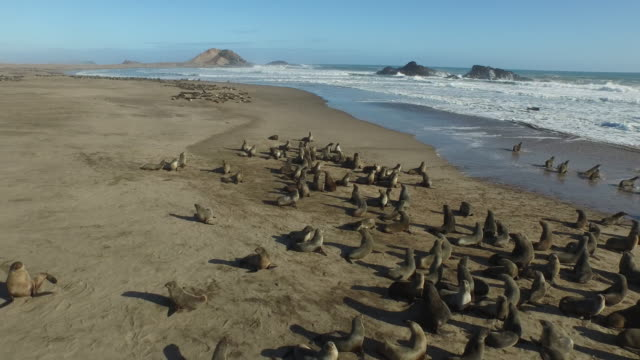 aerial over beach crowded with sea lions, waves washing in, sunny, namibia, 2015 - namibia stock videos & royalty-free footage