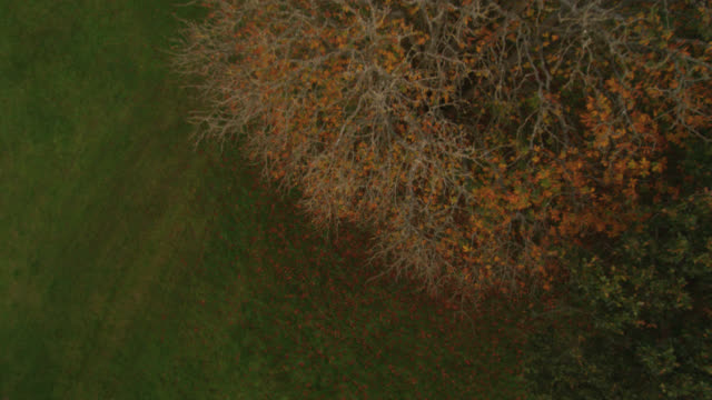 aerial over beech tree (fagus sylvatica) in autumn, dorset, england - beech tree stock videos and b-roll footage