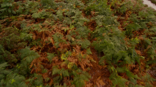 aerial over bracken (pteridium) on heathland, dorset, england - bracken stock videos and b-roll footage