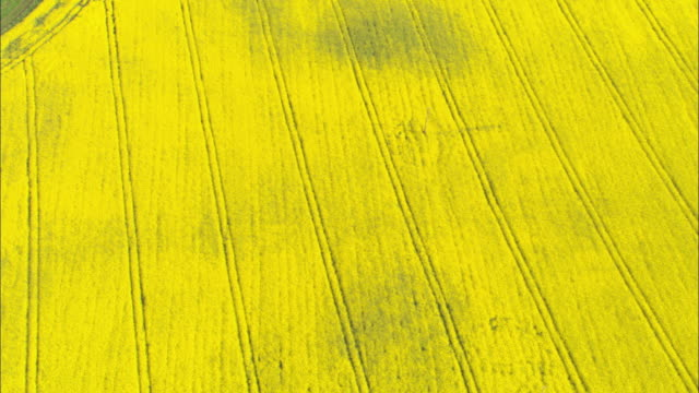 aerial over bright yellow oilseed rape (brassica napus) field, scotland, uk - gelb stock-videos und b-roll-filmmaterial