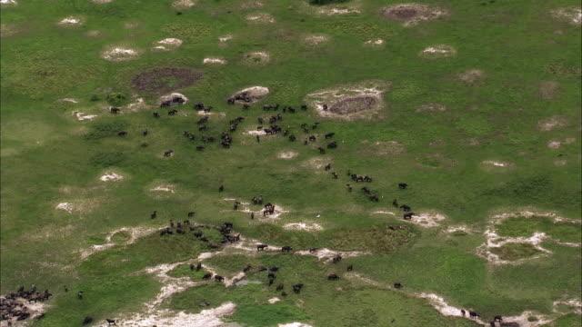 aerial over cape buffalo (syncerus caffer) grazing, uganda - grazing stock videos & royalty-free footage