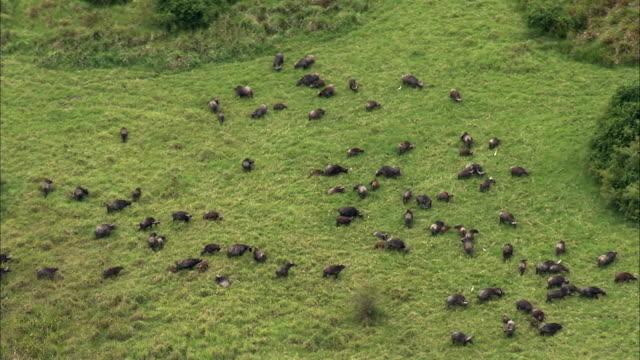 vídeos y material grabado en eventos de stock de aerial over cape buffalo (syncerus caffer) grazing, uganda - comportamiento de animal