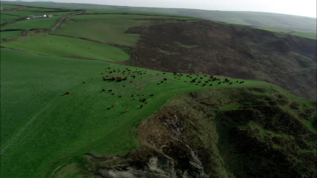 Aerial over cattle on cliff top, Cornwall, UK