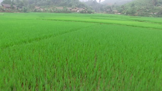 aerial over community rice field, vietnam. - rice plant stock videos and b-roll footage