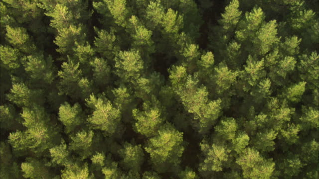 Aerial over conifer tree plantation, Cairngorms, Scotland