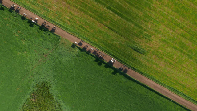 aerial over cows on farm lane amongst fields, cumbria, uk - environment stock videos & royalty-free footage