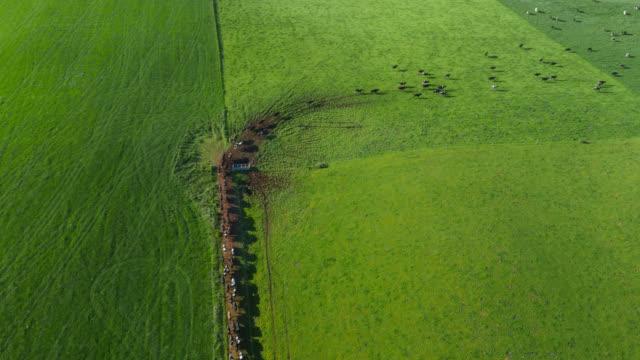 vídeos de stock e filmes b-roll de aerial over cows walking on farm lane and into pasture, uk - gado holstein friesian