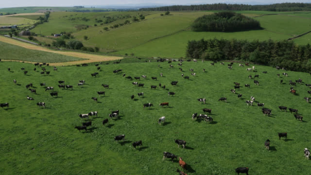 aerial over dairy cows grazing in pasture, cumbria, uk - cattle stock videos & royalty-free footage