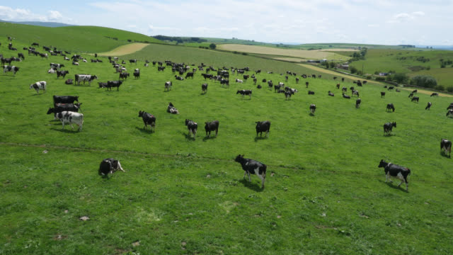 aerial over dairy cows grazing in pasture, cumbria, uk - land stock videos & royalty-free footage