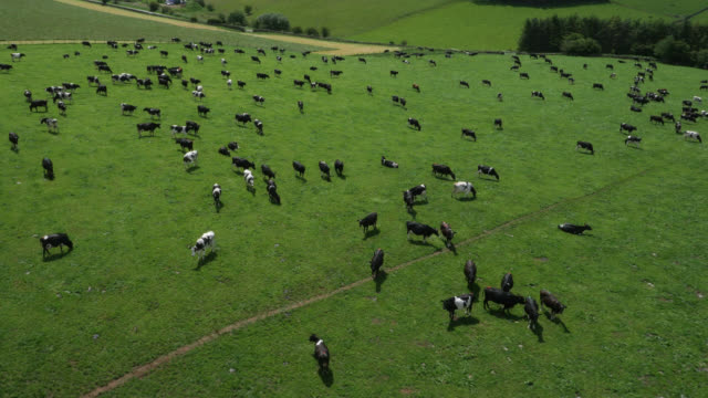aerial over dairy cows grazing in pasture, cumbria, uk - large group of animals stock videos & royalty-free footage