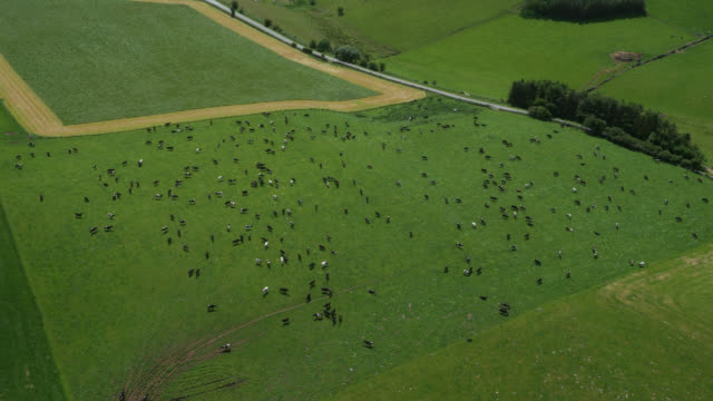 vídeos y material grabado en eventos de stock de aerial over dairy cows grazing in pasture, cumbria, uk - pastar