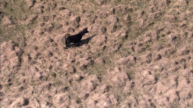 "vidéos et rushes de aerial over dartmoor pony on heathland, dartmoor, uk - ""bbc natural history"""