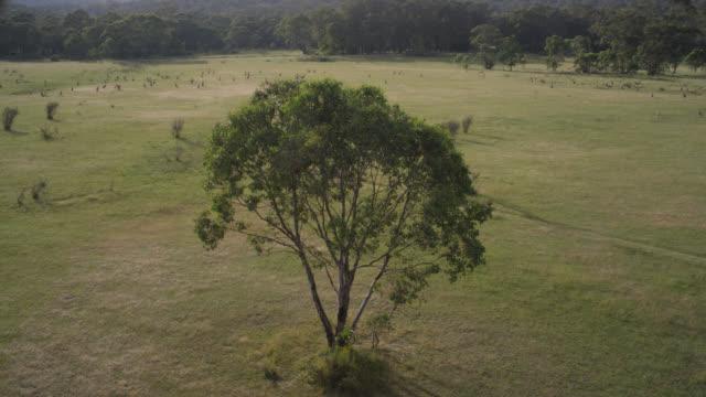 vidéos et rushes de aerial over eucalyptus and kangaroos, australia - inclinaison vers le bas