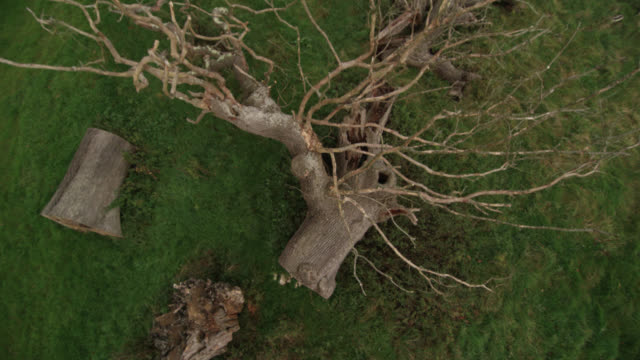 aerial over felled ancient oak tree (quercus rubor), dorset, england - oak stock videos and b-roll footage