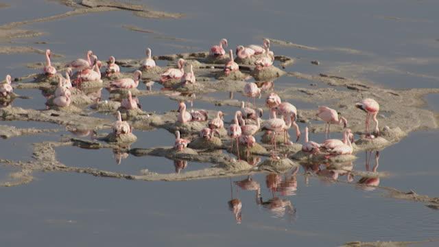 aerial over flamingo (phoenicoparrus minor) nesting colony on lake natron, tanzania - タンザニア点の映像素材/bロール