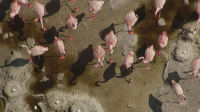 aerial over flamingo (phoenicoparrus minor) nesting colony on lake natron, tanzania - young animal stock-videos und b-roll-filmmaterial