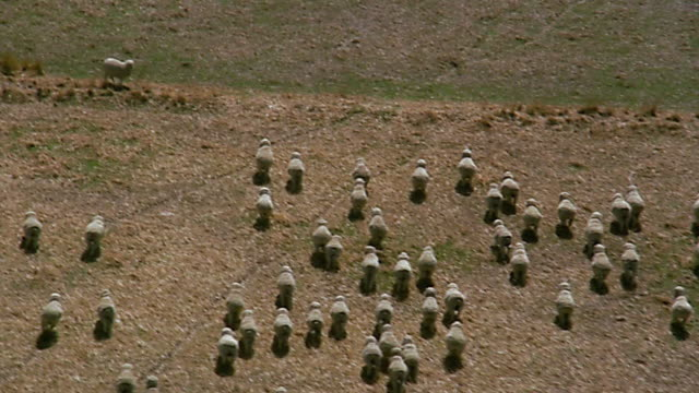 aerial over flock of sheep running in field - herbivorous stock videos & royalty-free footage
