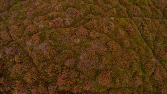 aerial over flowering heather (calluna) on heathland, dorset, england - heather stock videos & royalty-free footage