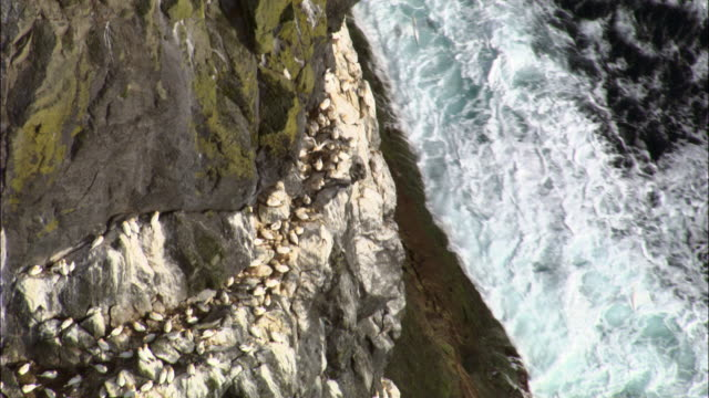 aerial over gannet (morus bassanus) colony and cliffs of st kilda, scotland, uk - hebrides stock videos & royalty-free footage