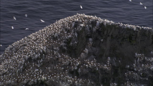 aerial over gannet (morus bassanus) colony and cliffs of st kilda, scotland, uk - northern gannet stock videos & royalty-free footage