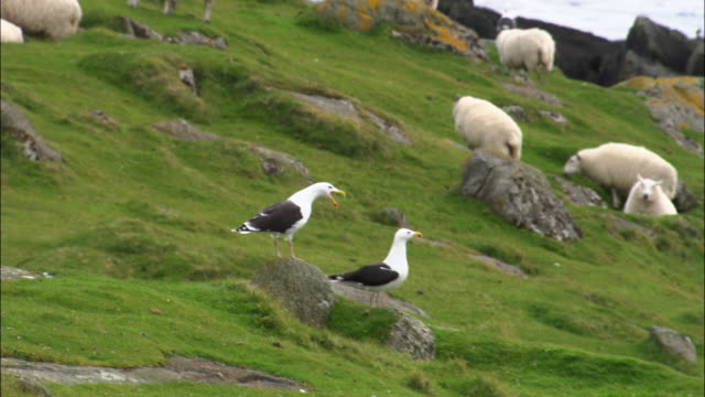 Aerial over great black backed gulls (Larus marinus) on Shiants in Outer Hebrides, Scotland, UK