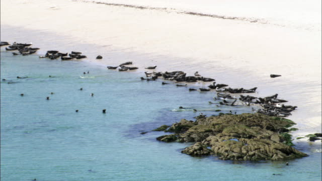 aerial over grey seal (halichoerus grypus) colony on monach islands, scotland, uk - kegelrobbe stock-videos und b-roll-filmmaterial