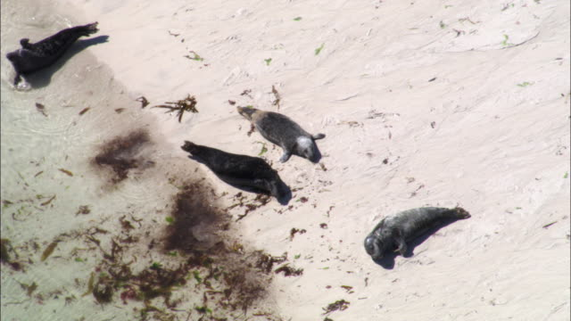 aerial over grey seals (halichoerus grypus) on monach islands, scotland, uk - kegelrobbe stock-videos und b-roll-filmmaterial