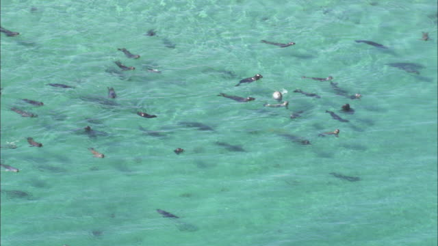 aerial over grey seals (halichoerus grypus) swimming in shallows of monach islands, scotland, uk - grey seal stock videos & royalty-free footage